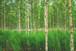 Foresta betulla